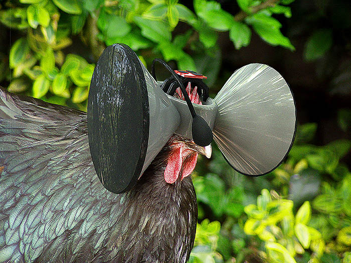 Virtual reality could make caged chickens think they're free